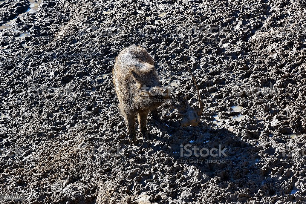 Happy hour of baby wild boar on the mud floor. stock photo