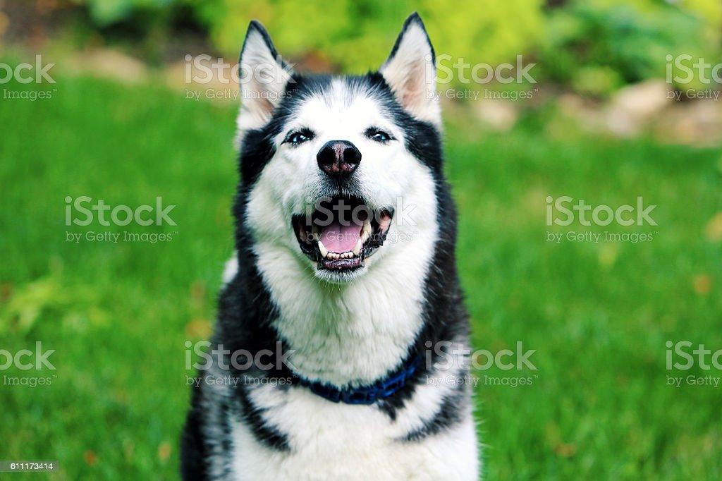 Happy Husky Dog stock photo