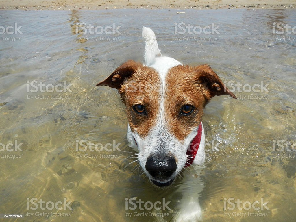Happy Jack Russell Terrier running on the beach stock photo