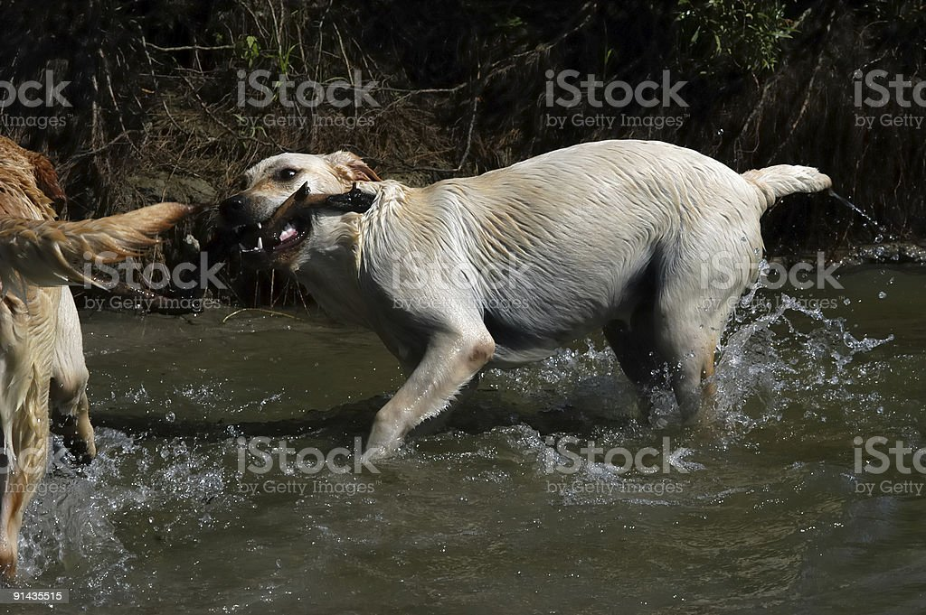 Happy Labrador dogs playing in the water royalty-free stock photo