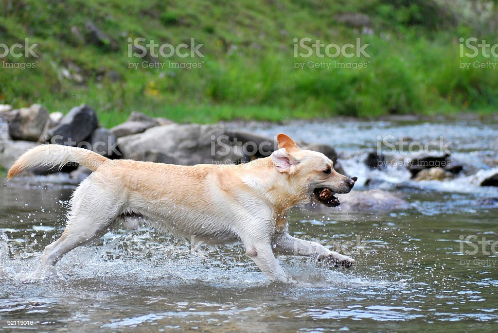 Happy Labrador stock photo
