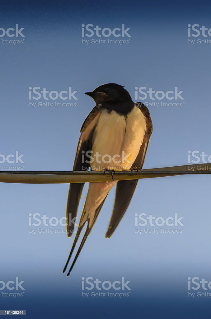 Happy Little Swallow royalty-free stock photo