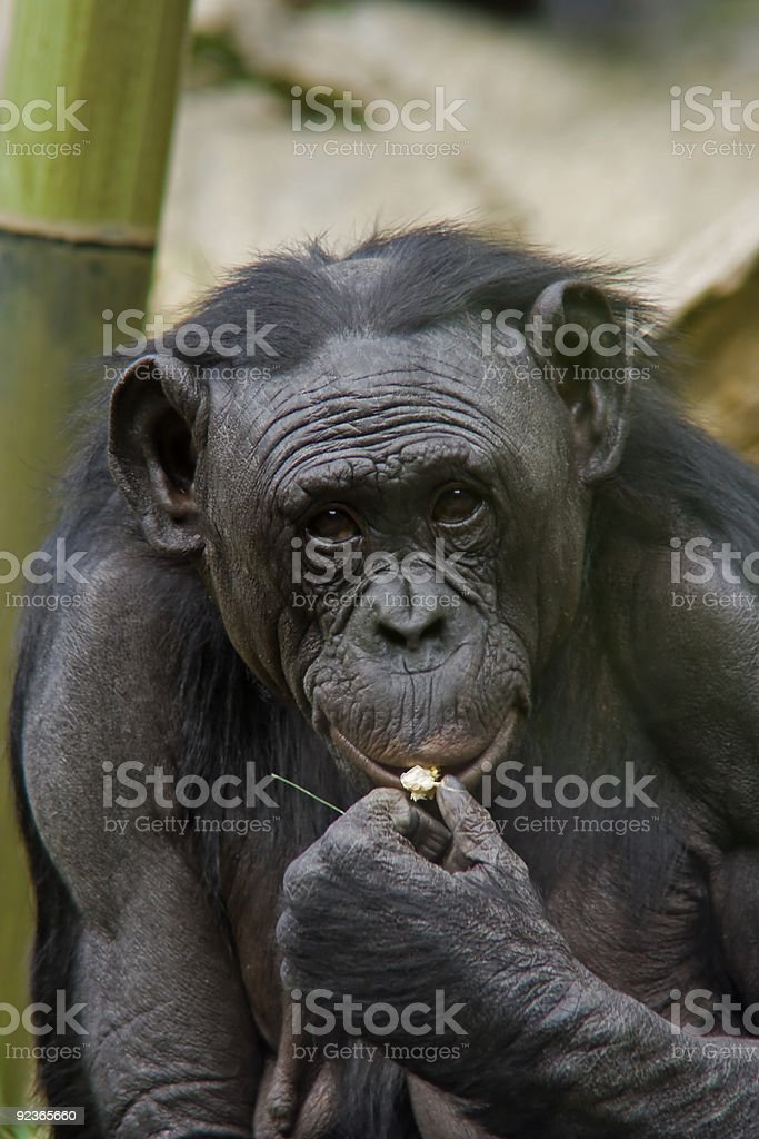 Happy monkey eating popcorn stock photo