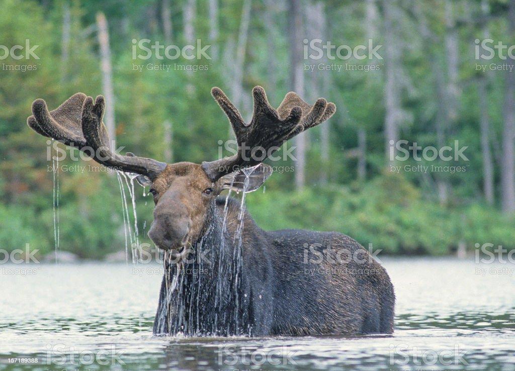 Happy Moose stock photo