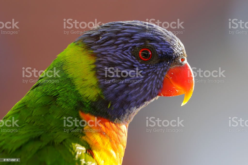 Happy multi-coloured rainbow lorikeet parrot stands in the afternoon sun stock photo
