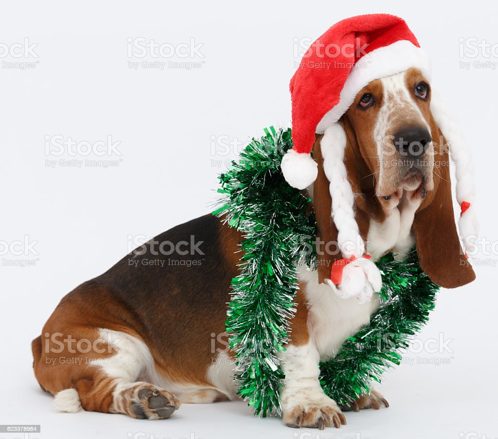 Happy New Year, Christmas Basset hound sitting, isolated stock photo