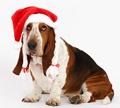 Happy New Year, Christmas Basset sitting, isolated