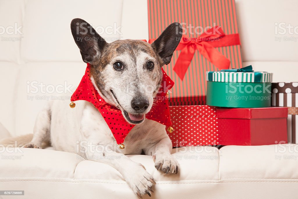 Happy Old Christmas Dog stock photo