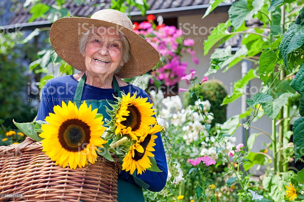 Happy Old Woman with Baskets of Fresh Sunflowers. stock photo