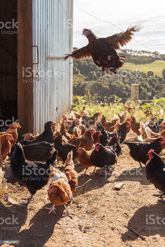Happy organic hens outside of the shed stock photo