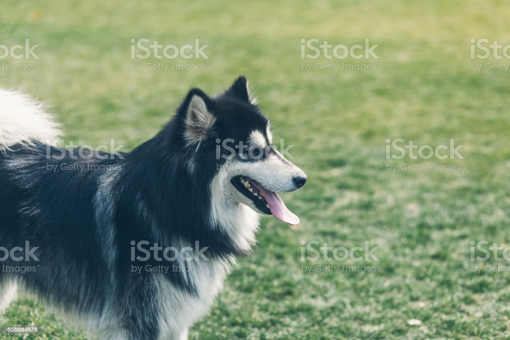 Happy pet dogs playing on Grass in a park.