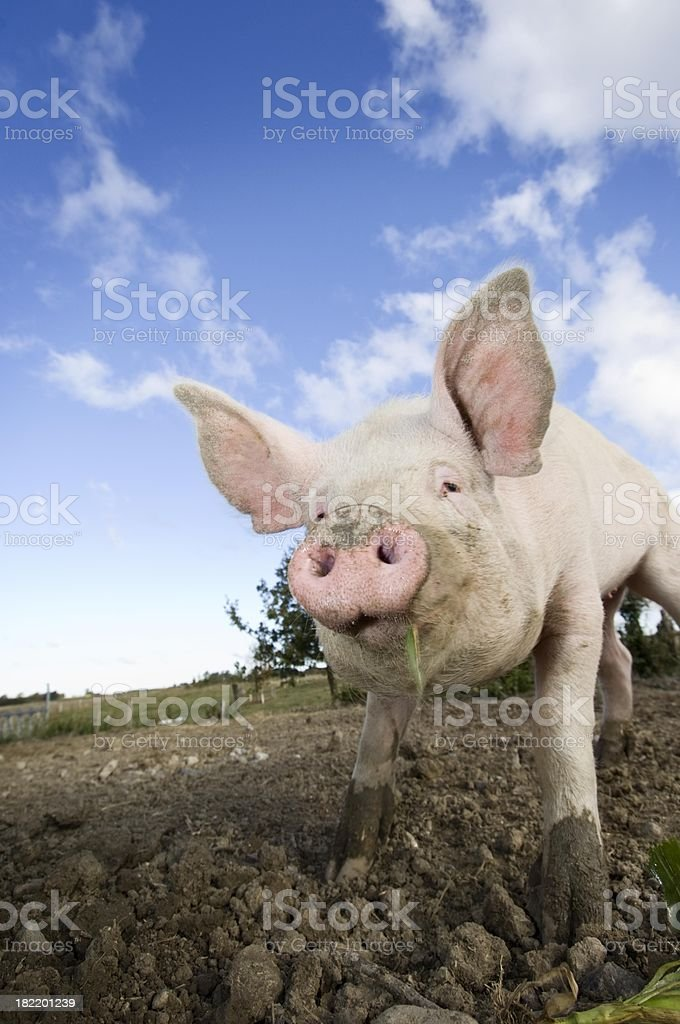 A happy pig on a small farm in Denmark stock photo