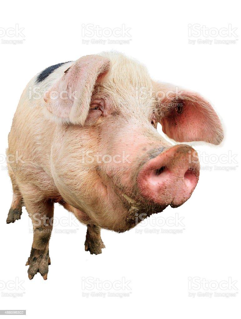 Happy pig portrait on white stock photo