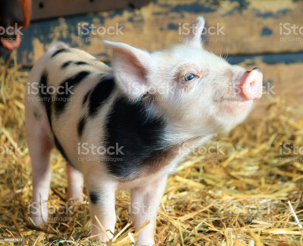 Happy piggy stock photo