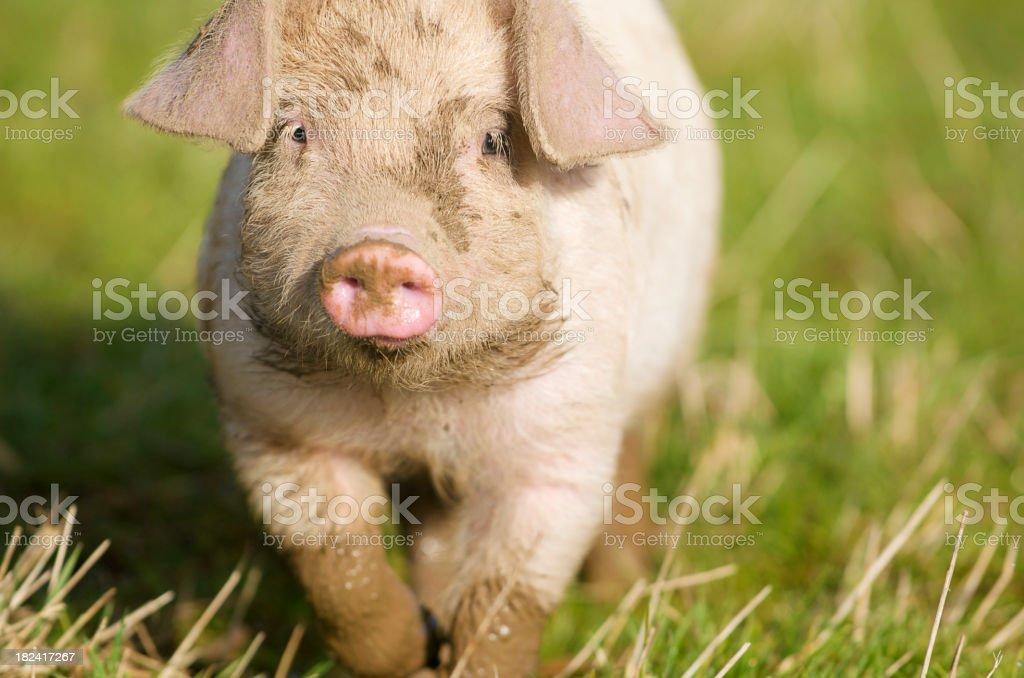 Happy Piglet Trotting Along (1) stock photo