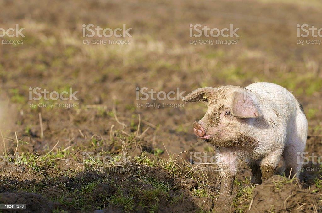 Happy Piglet Trotting Along (2) stock photo