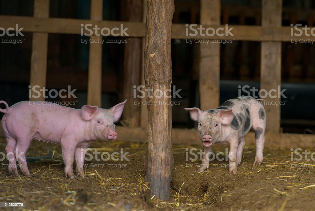 Happy piglets at farm stock photo