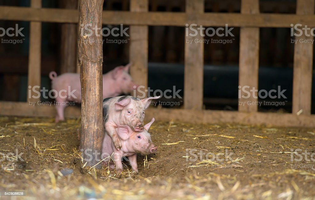 Happy piglets at farm, playing stock photo