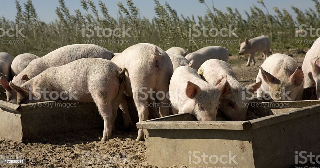 Happy piglets feeding at their troughs on a sunny day stock photo