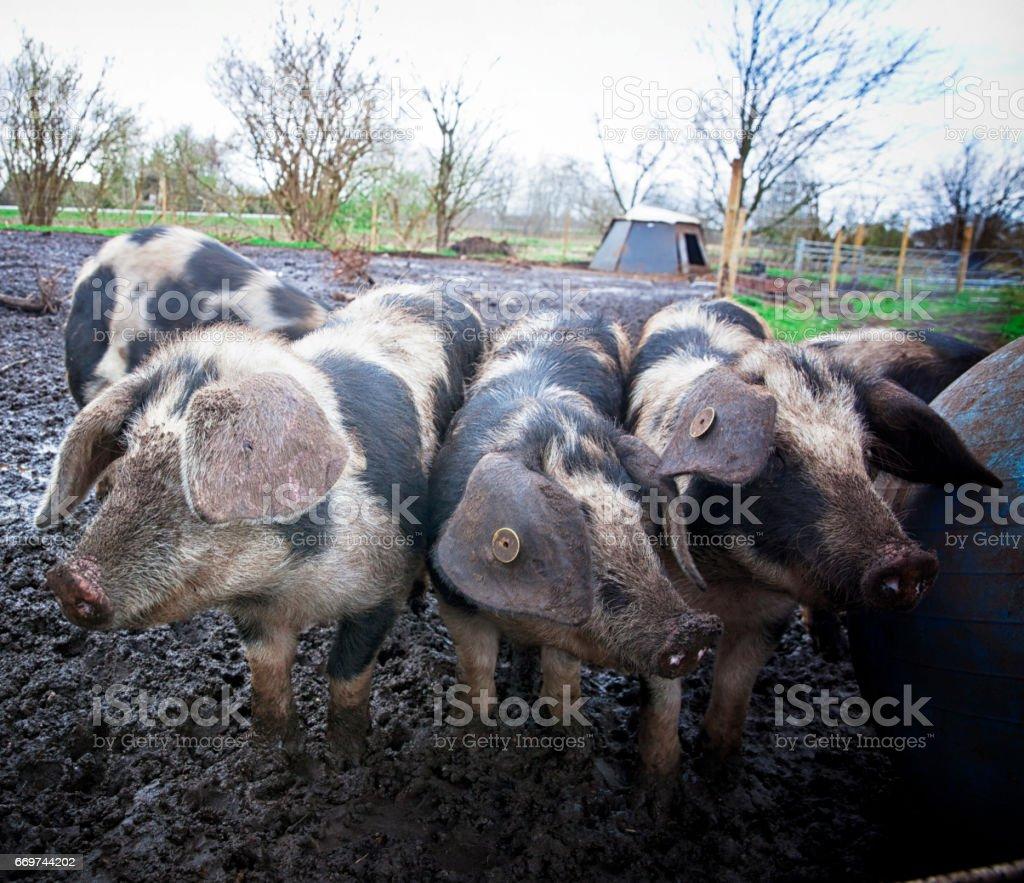 Happy piglets on an organic farm in Denmark. stock photo