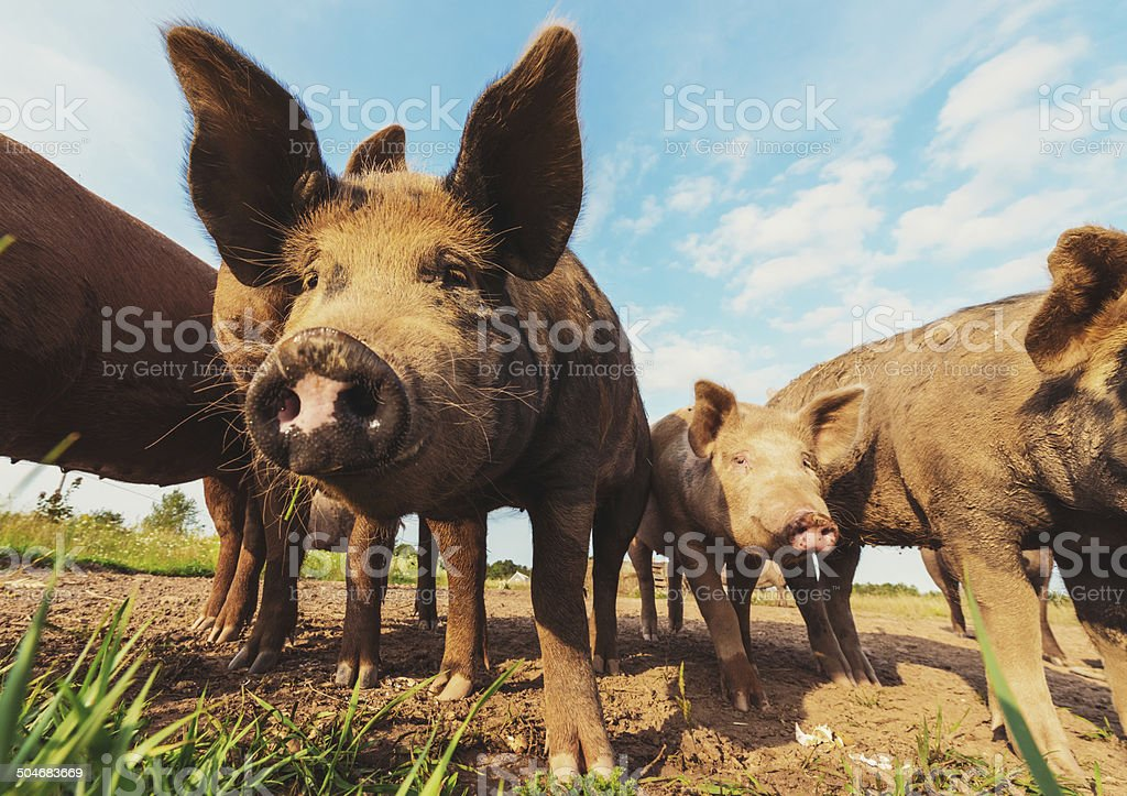 Happy Pigs royalty-free stock photo