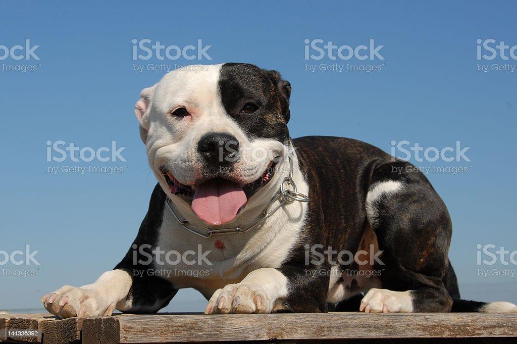 happy pit bull stock photo
