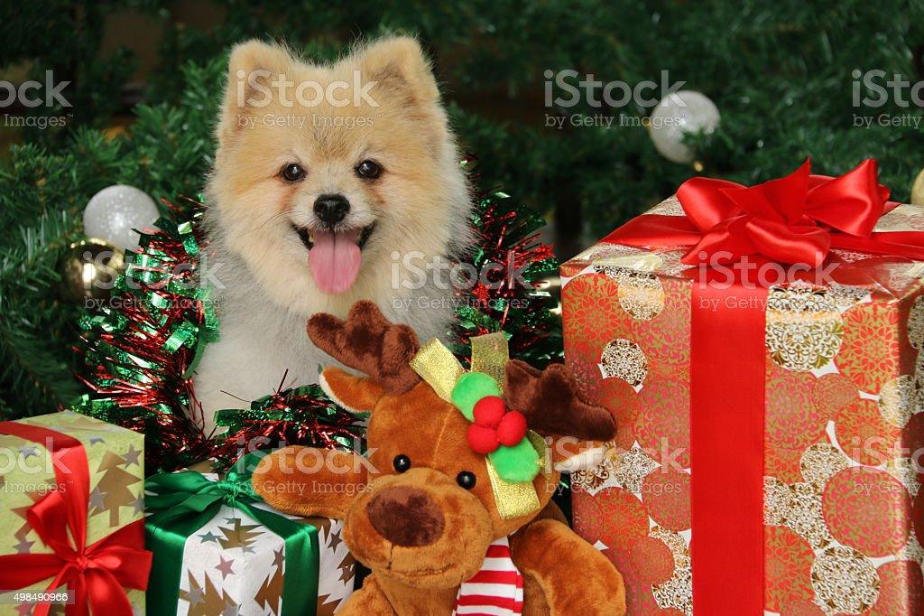 Happy Pomeranian Among Festive Christmas Goodies stock photo