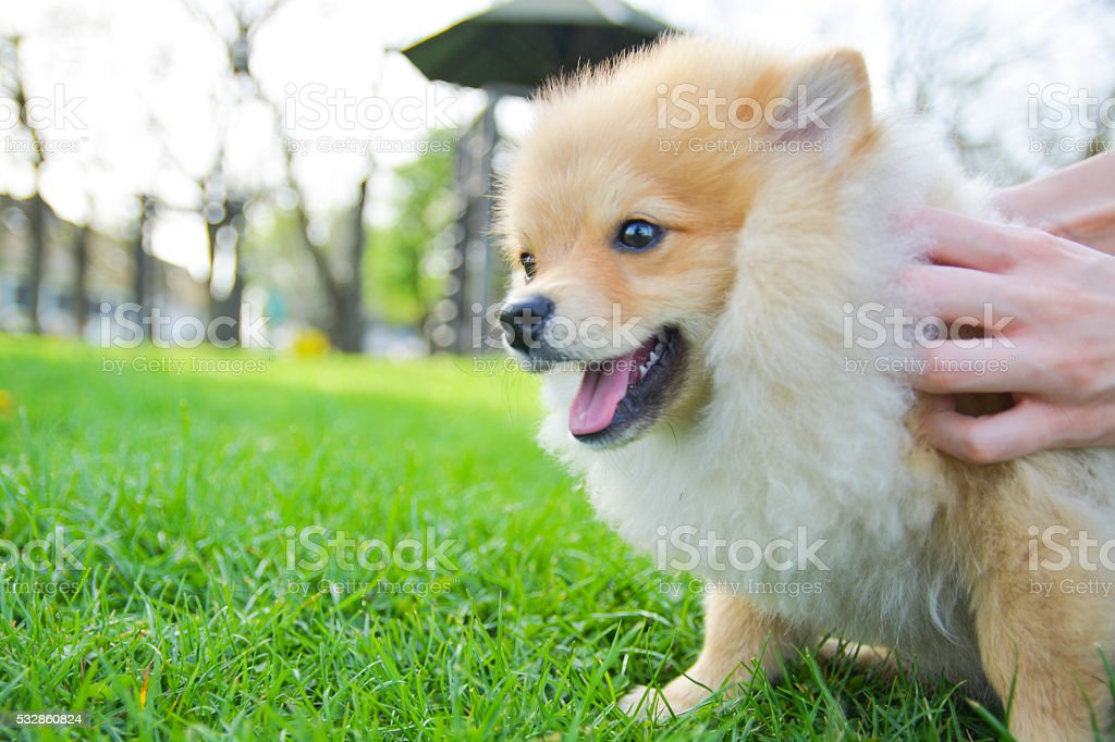 Happy Pomeranian dog cuddling with his owner outdoors stock photo