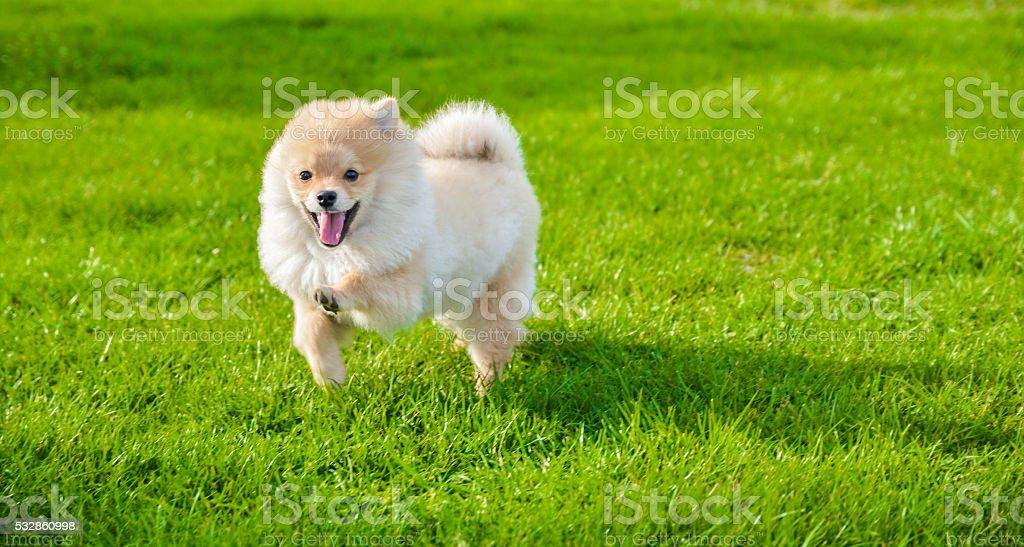 Happy pomeranian dog running outdoors on green grass stock photo