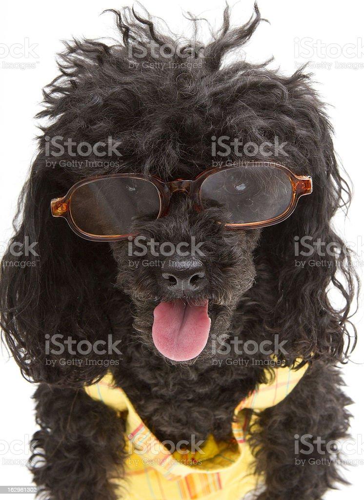 Happy Preppy Dog royalty-free stock photo