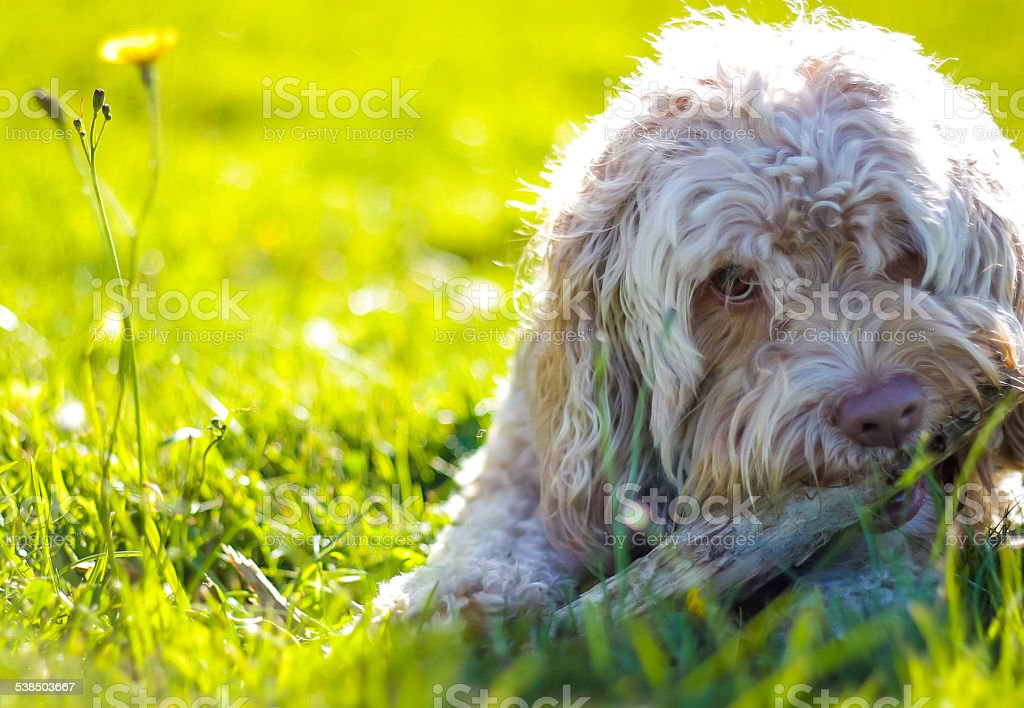 Happy Puppy Chewing Bone in Summer stock photo