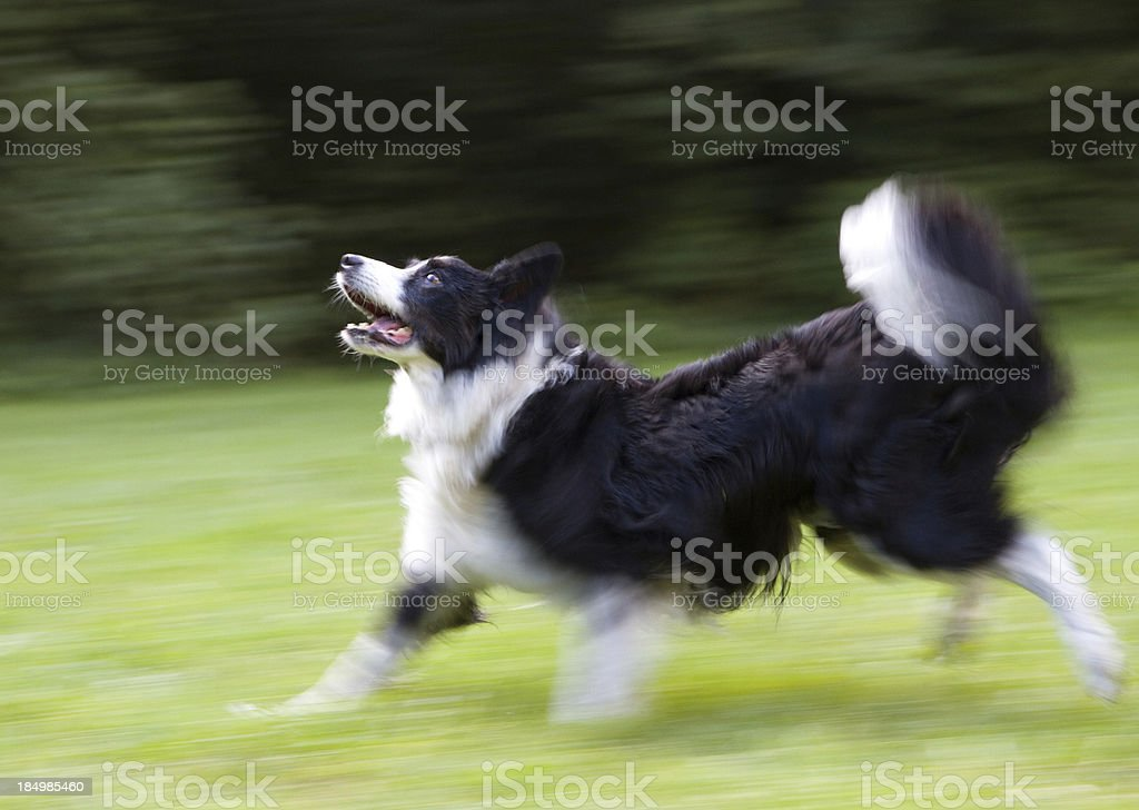 Happy running dog in-motion unsharpness stock photo