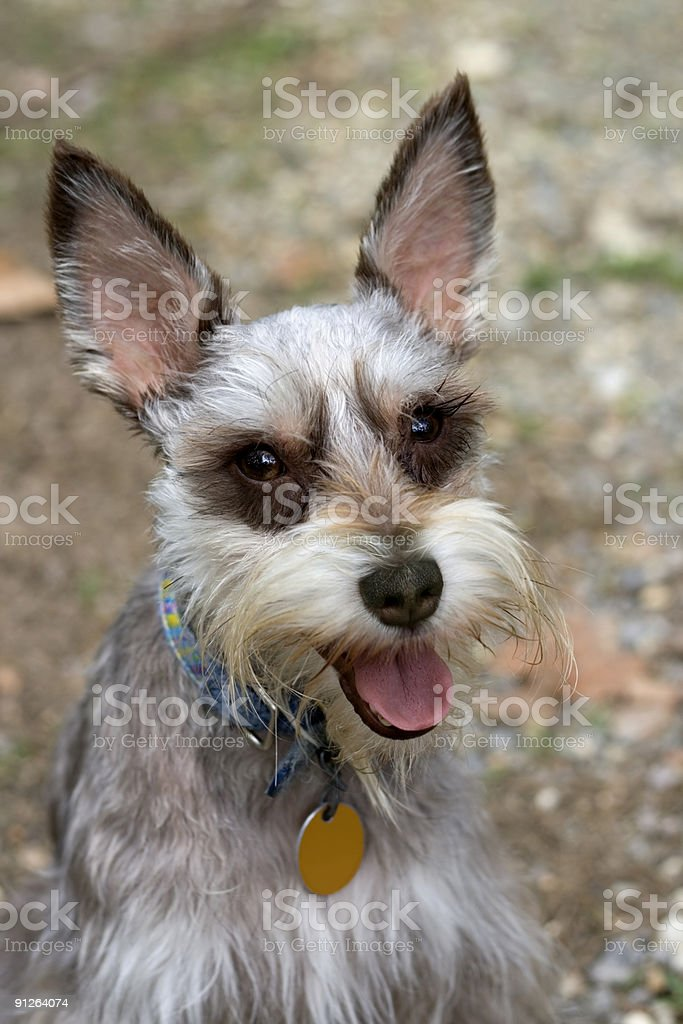 Happy Schnauzer royalty-free stock photo