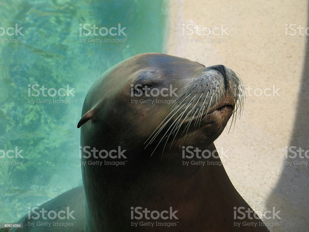 Happy Sea lion royalty-free stock photo
