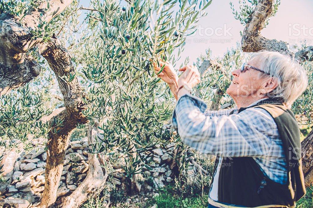 Happy Senior Woman Harvesting Olives in Brac, Croatia, Europe stock photo