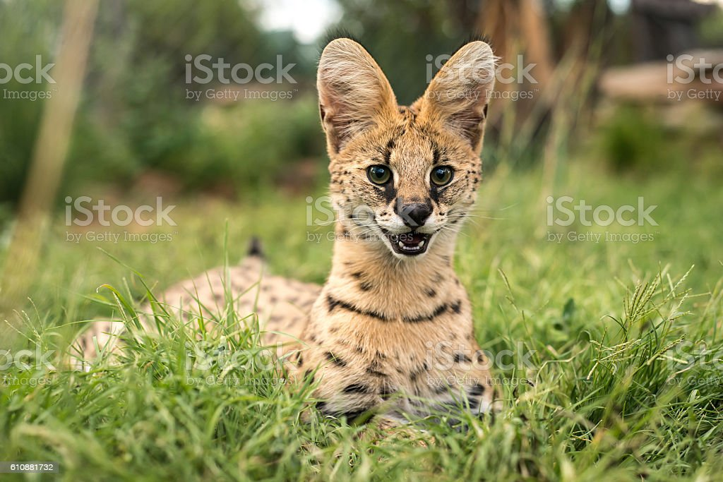 Happy serval with clear markings stock photo