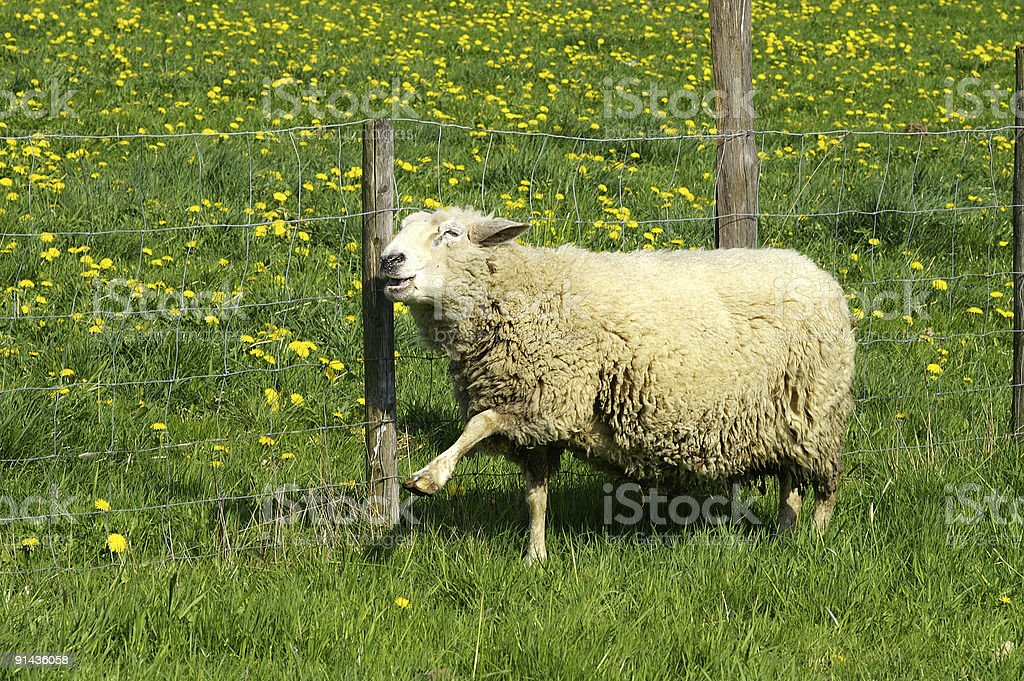 Happy sheep in springtime royalty-free stock photo