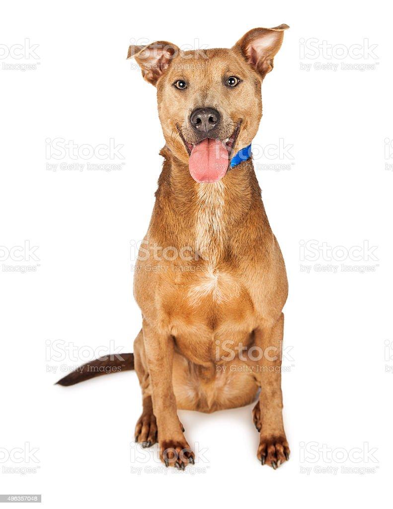 Happy Shepherd Crossbreed Dog stock photo