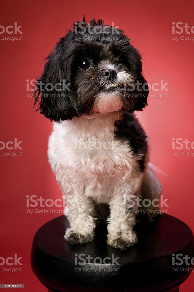 Happy Shih Tzu Poodle Dog on a Table stock photo