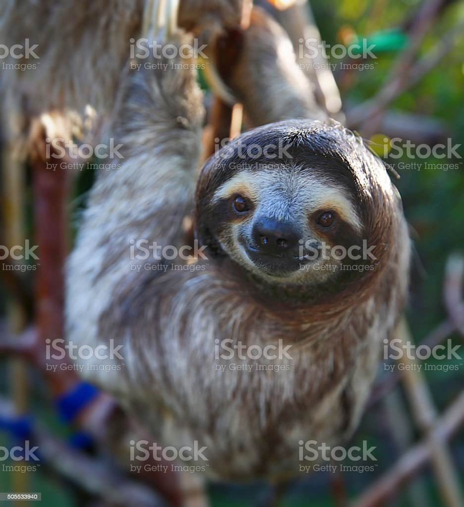 Happy Sloth Hanging Around the Rain Forest stock photo