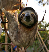 Happy Sloth Hanging Around the Rain Forest