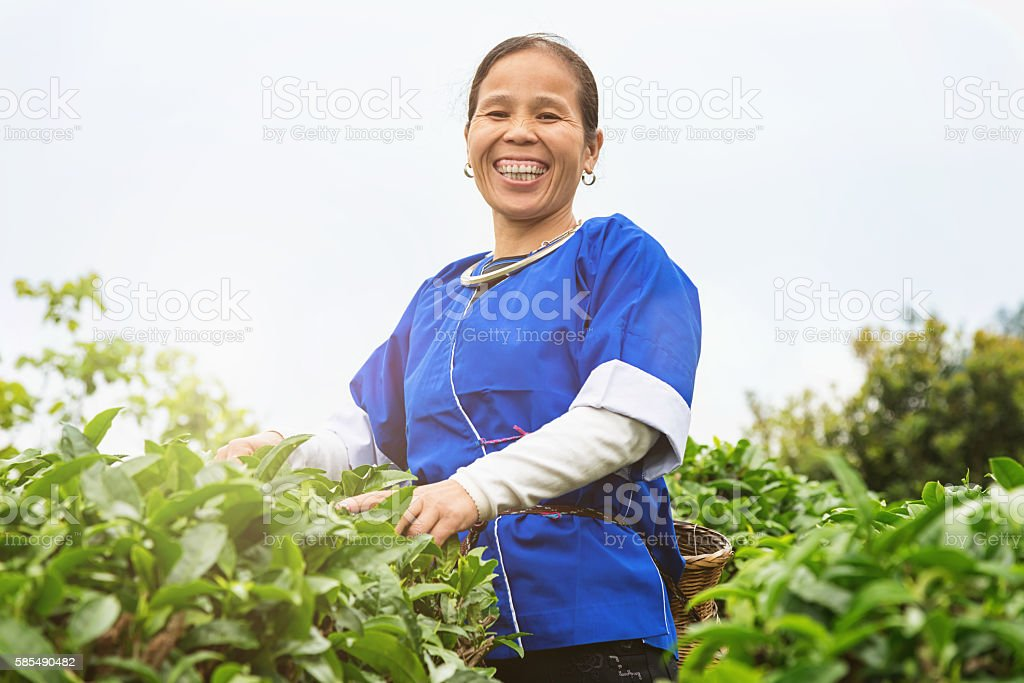Happy smiling chinese woman picking tealeaves stock photo