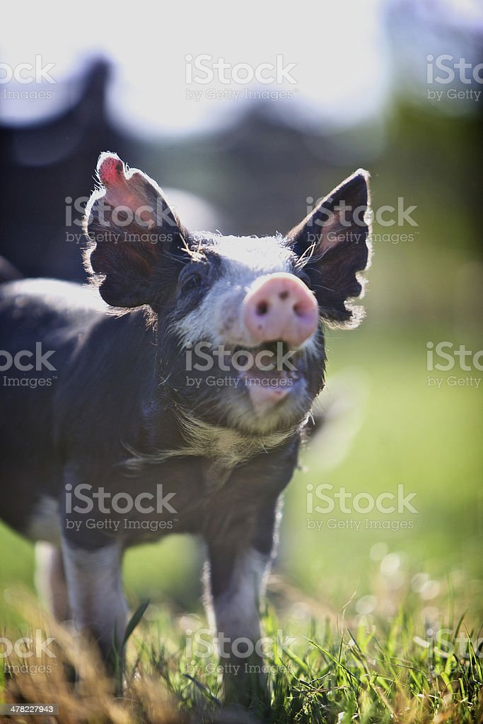 Happy Smiling Piglet royalty-free stock photo