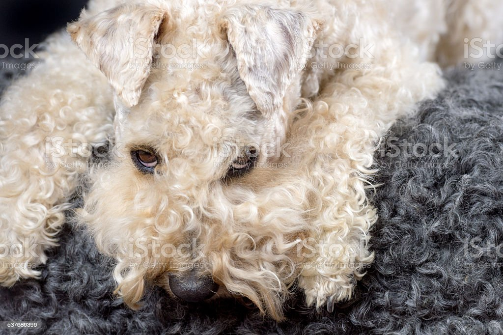 Happy soft coated wheaten terrier stock photo