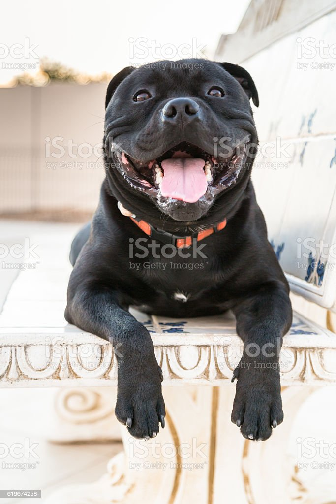 Happy Staffordshire Bull Terrier dog on a stone bench stock photo