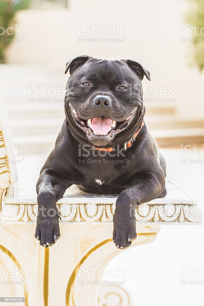 Happy staffordshire bull terrier. stock photo