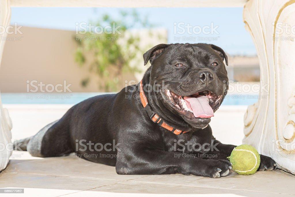 Happy Staffordshire Bull Terrier stock photo