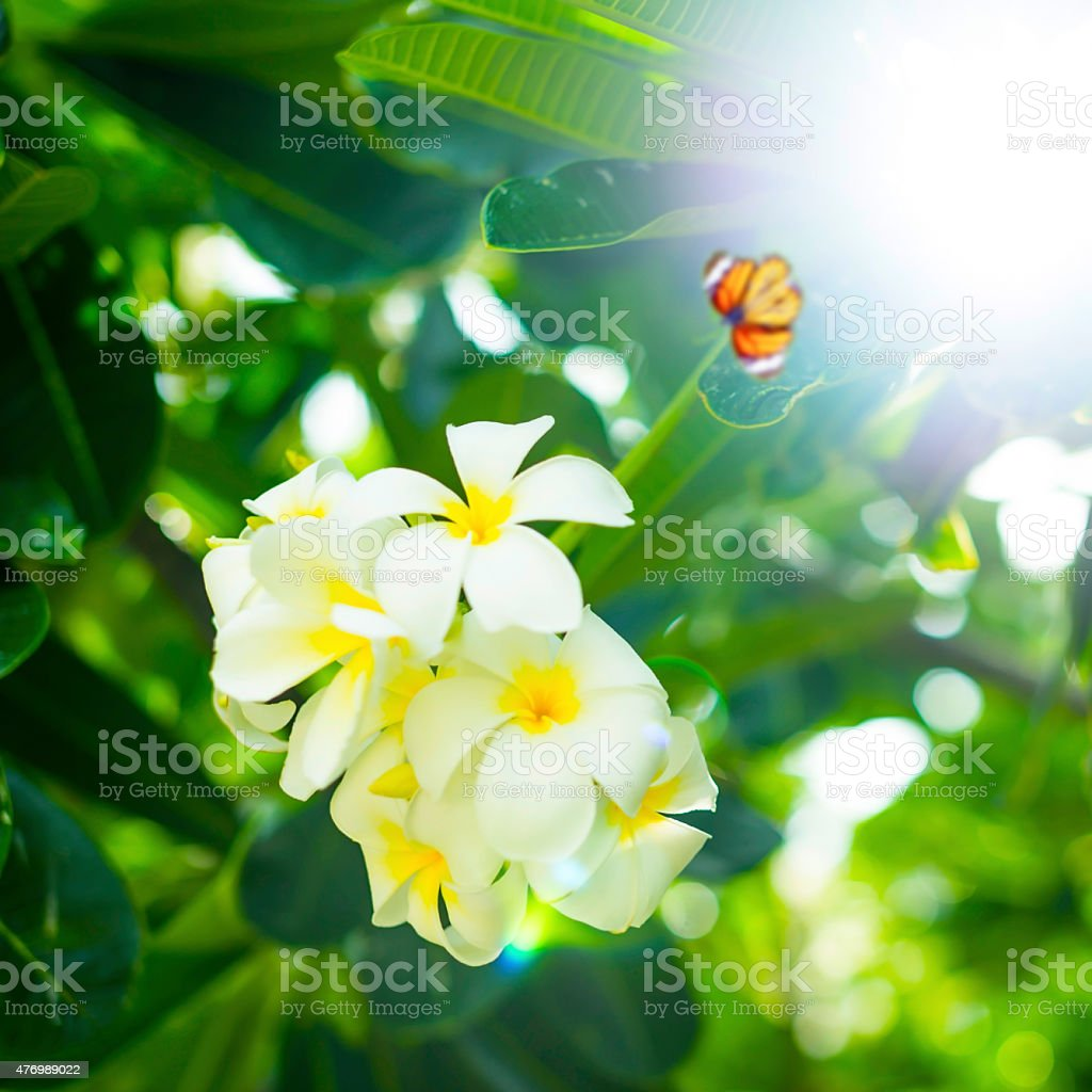 Happy summer backgrounds with Leerawadee flowers. royalty-free stock photo