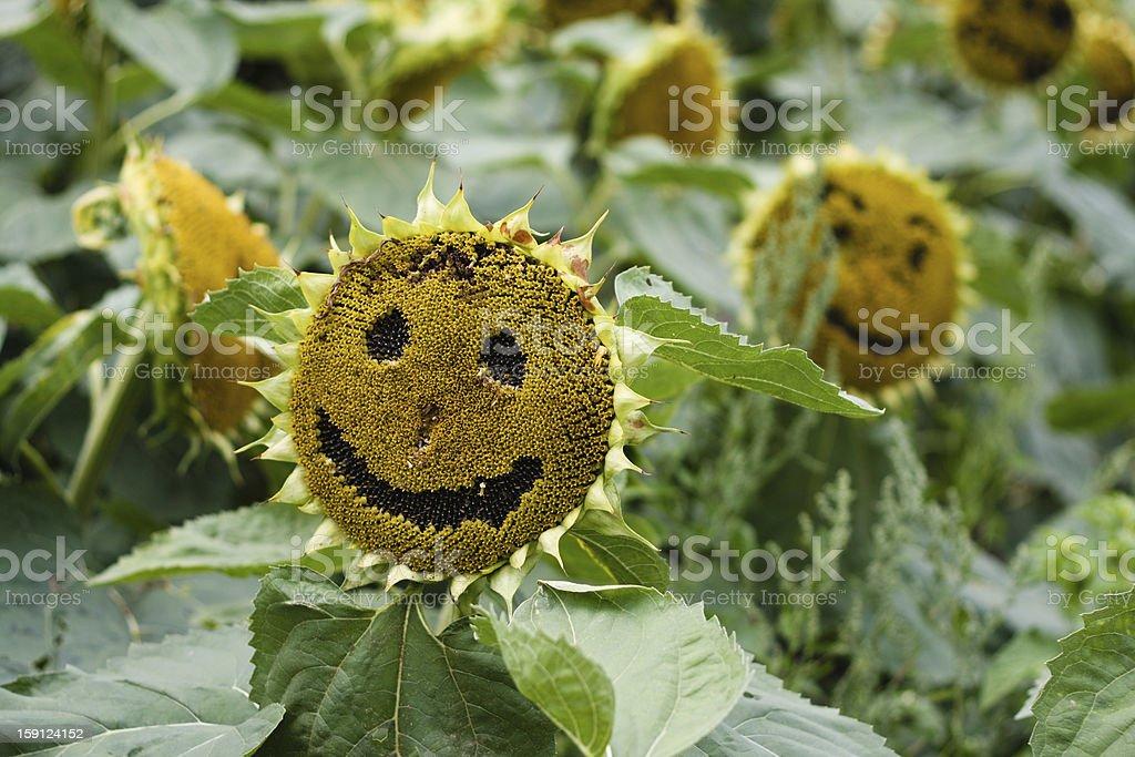 Happy sunflowers stock photo