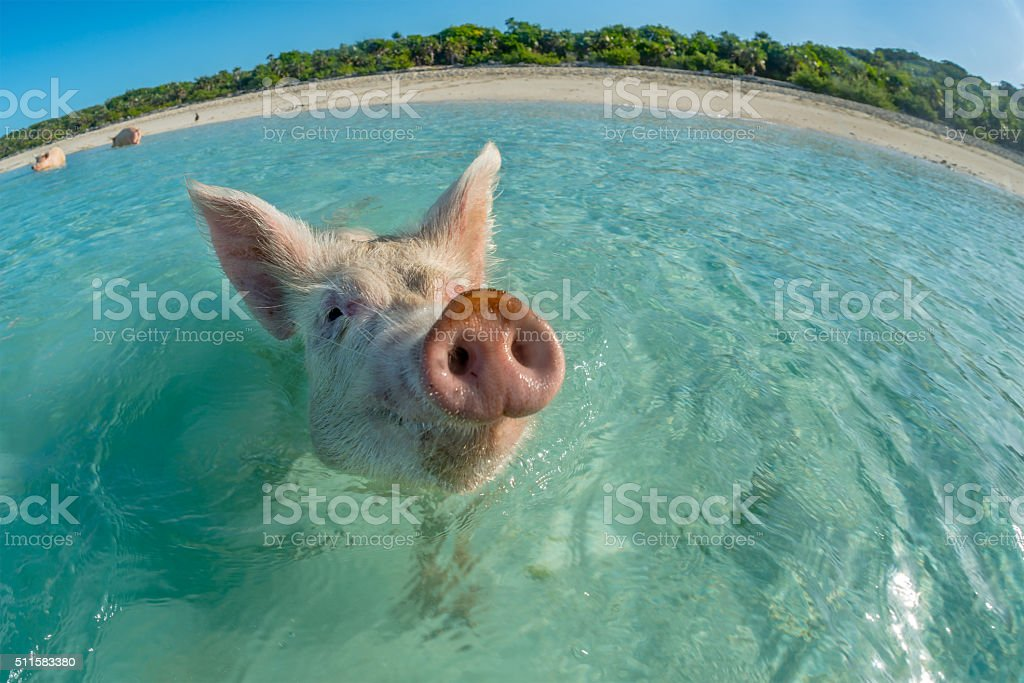 Happy swimming pig stock photo